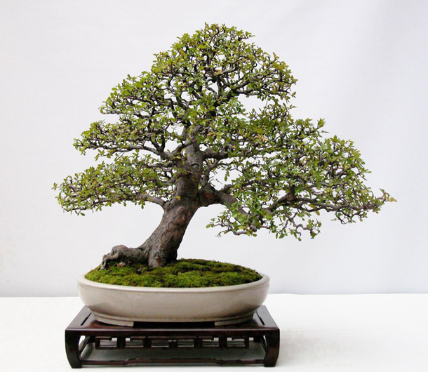 Bonsai tre bergen